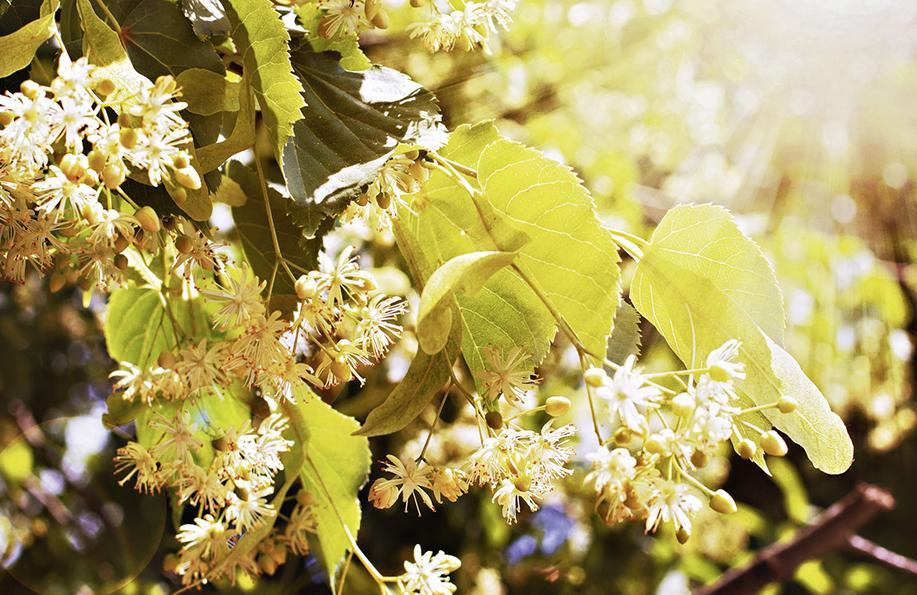 ıhlamurlar çiçek açtığı zaman