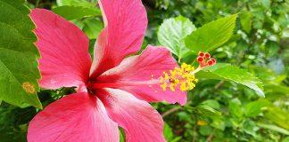 hibisküs