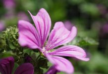 hatmi çiçeği faydaları