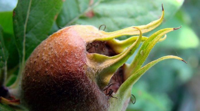 muşmula meyvesi